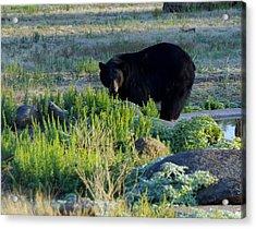 Bear 3 Acrylic Print