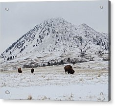Bear Butte Buffalo Acrylic Print