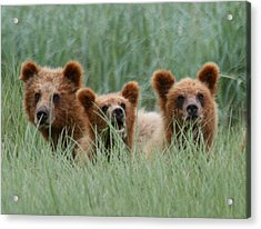Bear Cubs Peeking Out Acrylic Print by Myrna Bradshaw