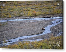 Acrylic Print featuring the photograph Bear In Alaska by Kate Avery