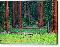 Bear In Sequoia National Park Acrylic Print