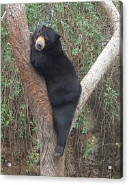 Bear In Tree   Acrylic Print
