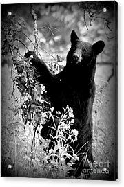 Bear Pose Acrylic Print
