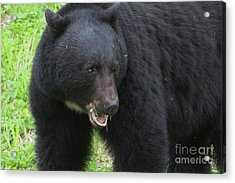 Acrylic Print featuring the photograph Bear by Rod Wiens