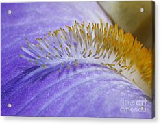 Beard Of The Iris Acrylic Print