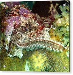 Bearded Fireworm On Rainbow Coral Acrylic Print by Amy McDaniel