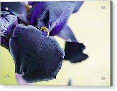 Bearded Iris Interpol Acrylic Print by Tim Gainey
