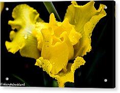Bearded Iris Morning Dew Acrylic Print