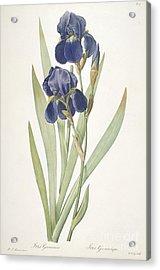 Bearded Iris Acrylic Print by Pierre Joseph Redoute