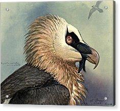 Bearded Vulture Acrylic Print