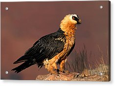 Bearded Vulture Or Lammergeier Acrylic Print by Nigel Dennis