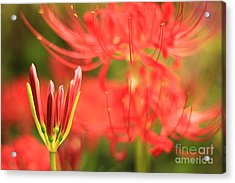 Beautiful Amaryllis Flower Red Spider Lily Aka Resurrection Lily Acrylic Print