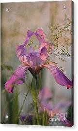 Beautiful And Mystical Iris  Acrylic Print