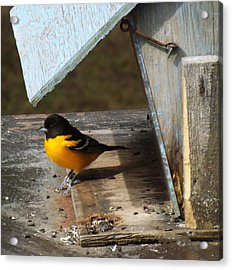 Beautiful Baltimore Oriole Acrylic Print by Brenda Brown