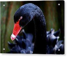 Beautiful Black Swan Acrylic Print by Paulette Thomas
