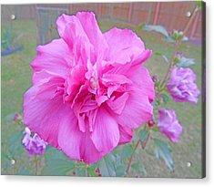 Beautiful Blooming Fuschia Rose Acrylic Print