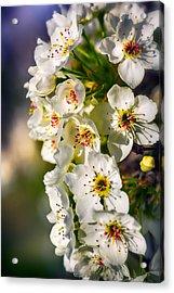 Beautiful Blossoms Acrylic Print by Sennie Pierson