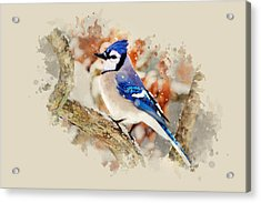 Beautiful Blue Jay - Watercolor Art Acrylic Print by Christina Rollo