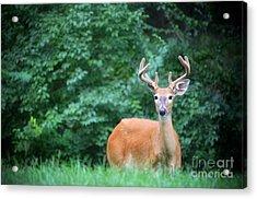 Beautiful Buck  Acrylic Print