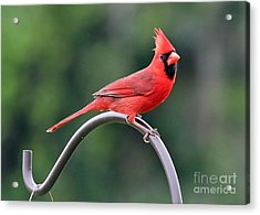 Beautiful Cardinal Acrylic Print