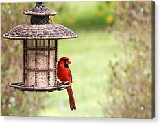 Acrylic Print featuring the photograph Beautiful Cardinal by Trina  Ansel