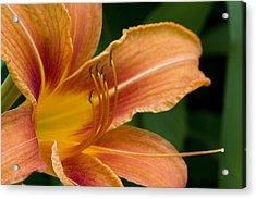 Beautiful Daylily Acrylic Print by Gene Walls