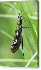 Beautiful Demoiselle Damselfly Acrylic Print by Science Photo Library