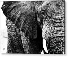 Beautiful Elephant Black And White 1 Acrylic Print by Boon Mee
