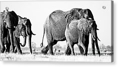 Beautiful Elephant Black And White 55 Acrylic Print by Boon Mee