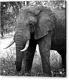 Beautiful Elephant Black And White 59 Acrylic Print by Boon Mee