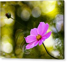 Acrylic Print featuring the photograph Beautiful Evening Pink Cosmos Wildflower by Tracie Kaska