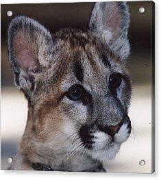 Beautiful Face-cougar Cub Acrylic Print