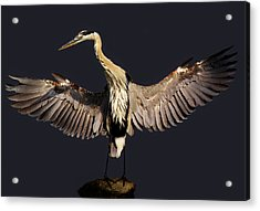 Beautiful Great Blue Heron - # 16 Acrylic Print by Paulette Thomas