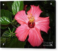 Beautiful Hibiscus Acrylic Print