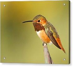 Beautiful Hummingbird Acrylic Print