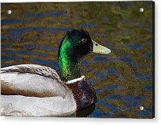 Beautiful Iridescent Mallard Duck  Acrylic Print