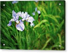 Beautiful Louisiana Hybrid Iris Acrylic Print by Marianne Campolongo