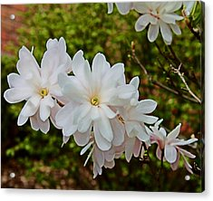 Beautiful Magnolias 2 Acrylic Print by Victoria Sheldon