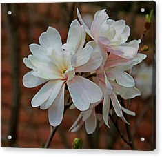 Beautiful Magnolias Acrylic Print by Victoria Sheldon
