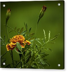 Beautiful Marigold Acrylic Print by Jean-Jacques Thebault