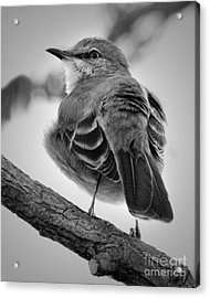 Acrylic Print featuring the photograph Beautiful Mockingbird by Anita Oakley