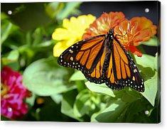 Beautiful Monarch Butterfly Acrylic Print