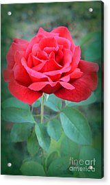 Beautiful Morning Rose  Acrylic Print