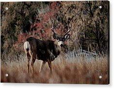 Beautiful Muley Acrylic Print
