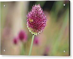 Beautiful Pink Flower With Bee Acrylic Print
