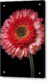 Beautiful  Pink Gerbera Acrylic Print