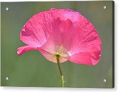 Beautiful Pink Poppy Flower Acrylic Print