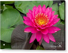 Beautiful Pink Waterlily Acrylic Print by Tosporn Preede
