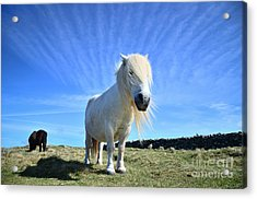 Beautiful Poney Grazing Near The Lizard - Cornwall Acrylic Print by OUAP Photography