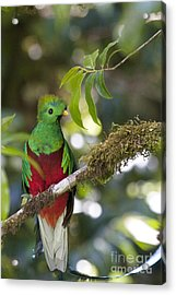 Beautiful Quetzal 1 Acrylic Print by Heiko Koehrer-Wagner